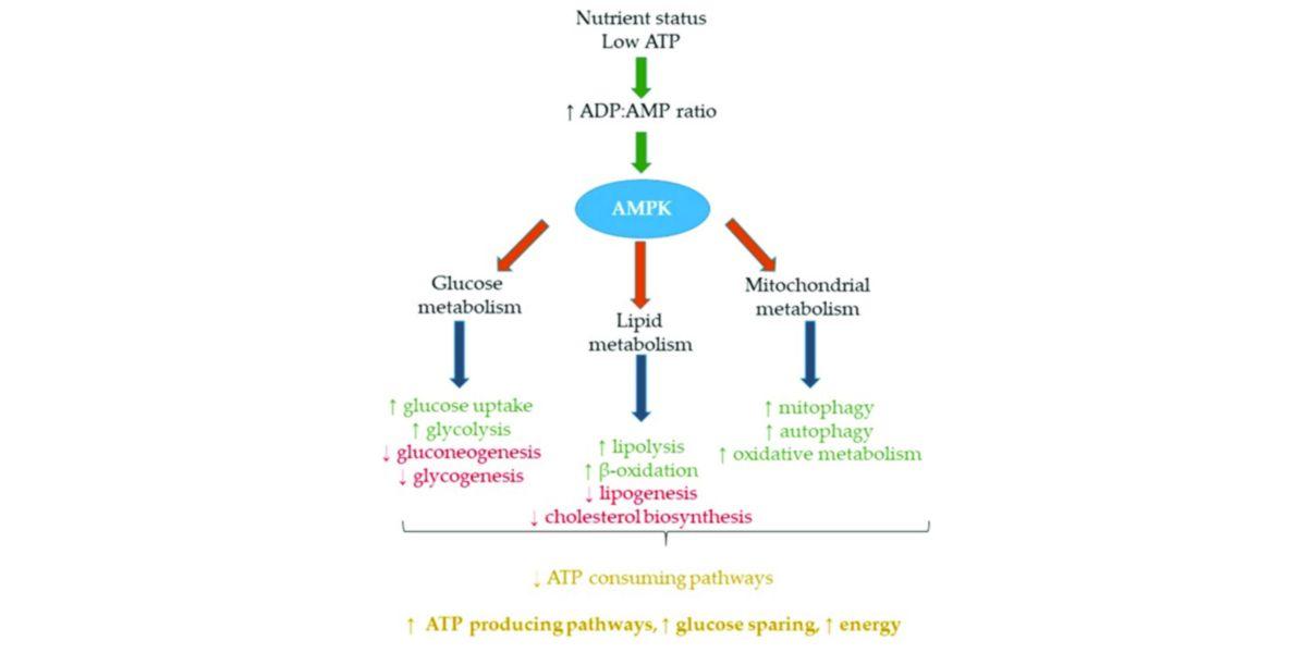 Activation AMPK