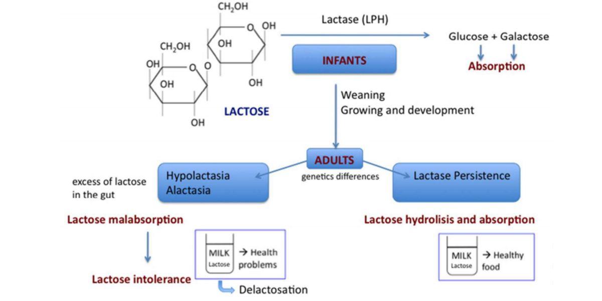 Phénotypes d'intolérance au lactose