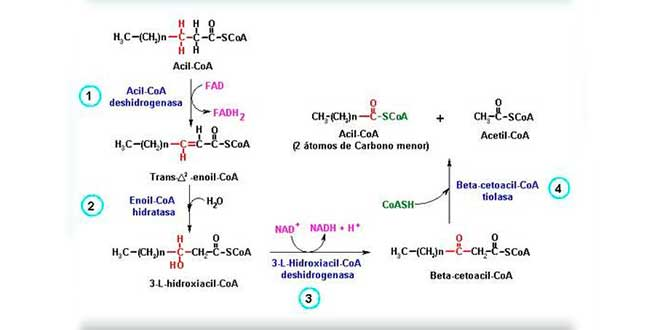 Bêta-oxydation