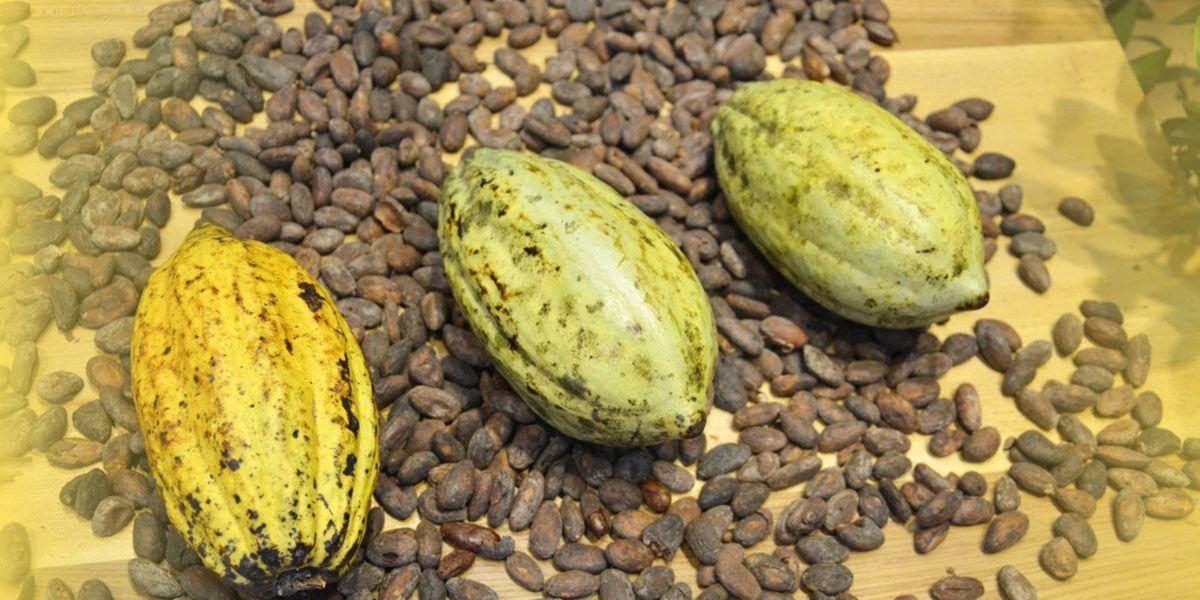 Grains de Cacao