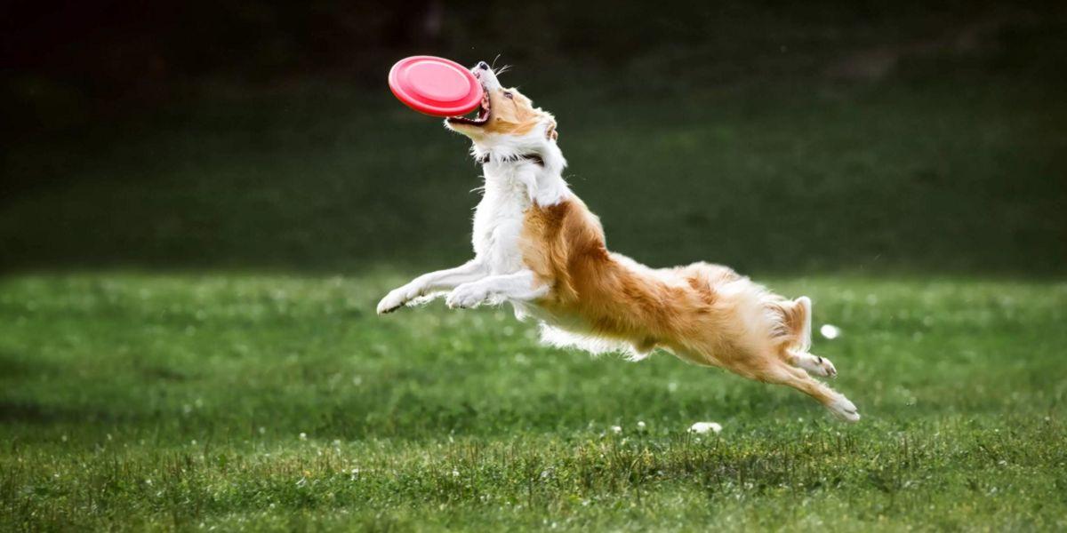 Lancer de disque chien