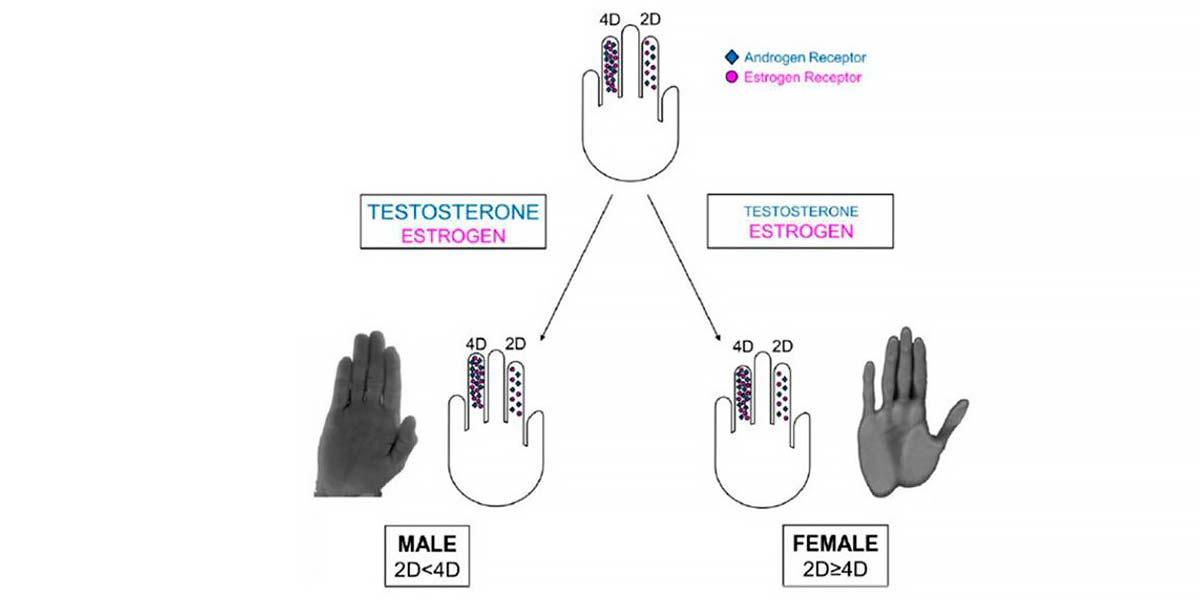 Prédominance hormonale