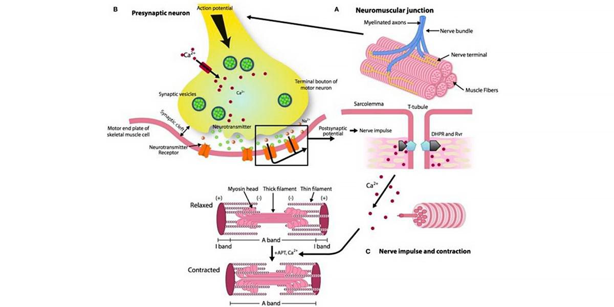 Mécanisme de contraction musculaire