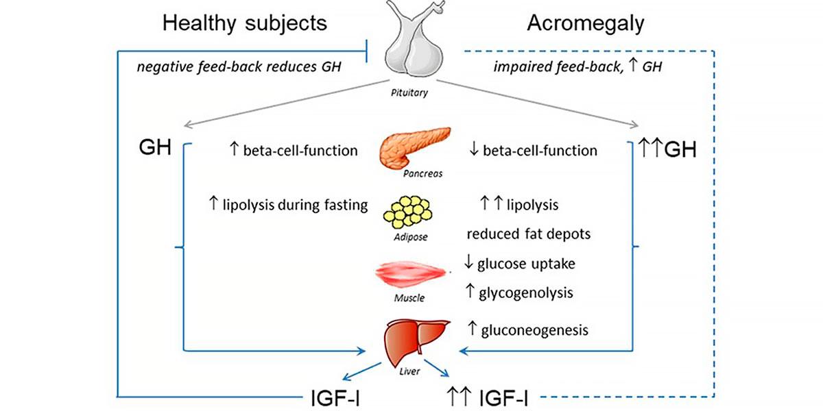 Synthèse de l'hormone de croissance