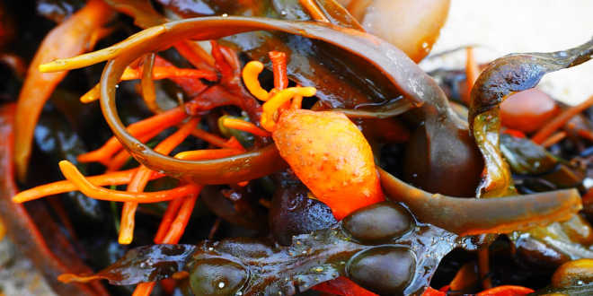 What are the uses of fucus