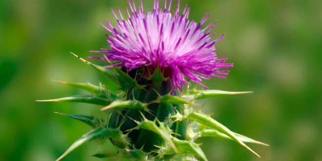 Milk Thistle, a natural hepatic protector
