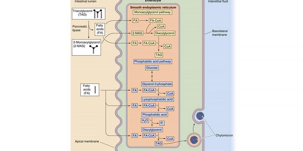 Lipids absorption
