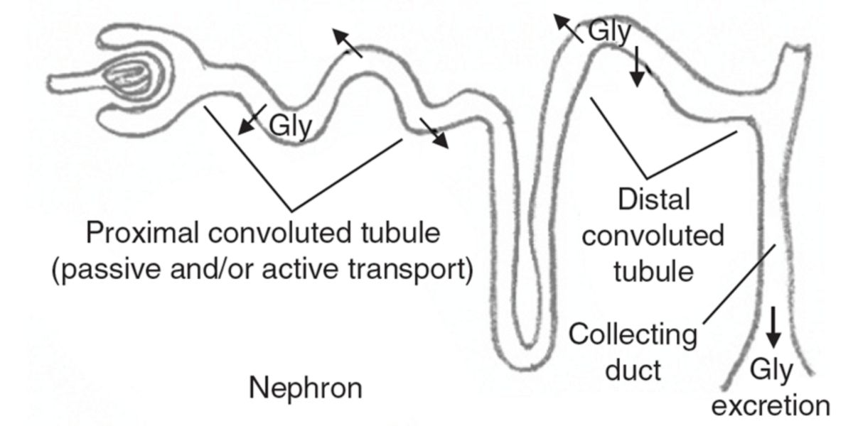 Renal metabolism