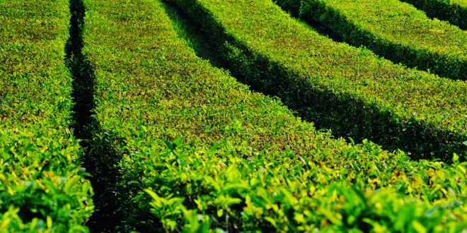 Green tea crops