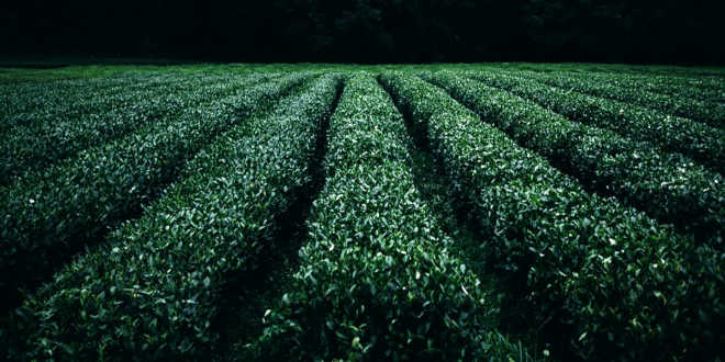 Cultivation of green tea