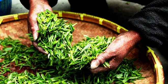 Green tea manual harvest
