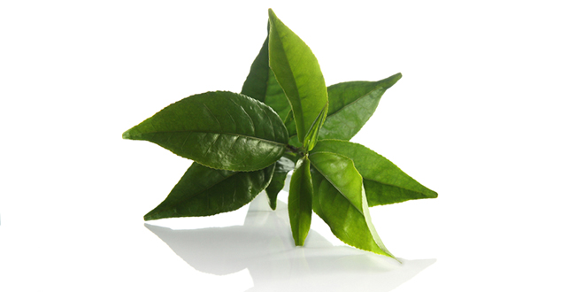 Green Tea – All you need to know about this antioxidant