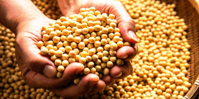 A handful of soy beans