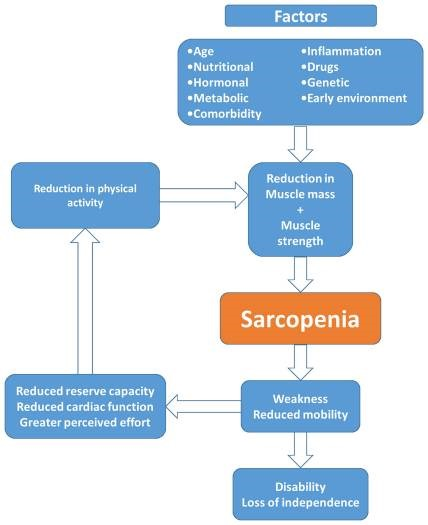 Sarcopenia factors