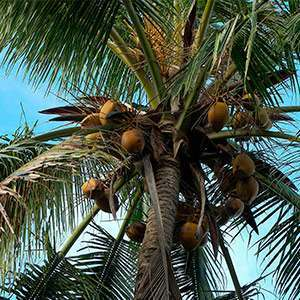 Coconuts from a palm tree