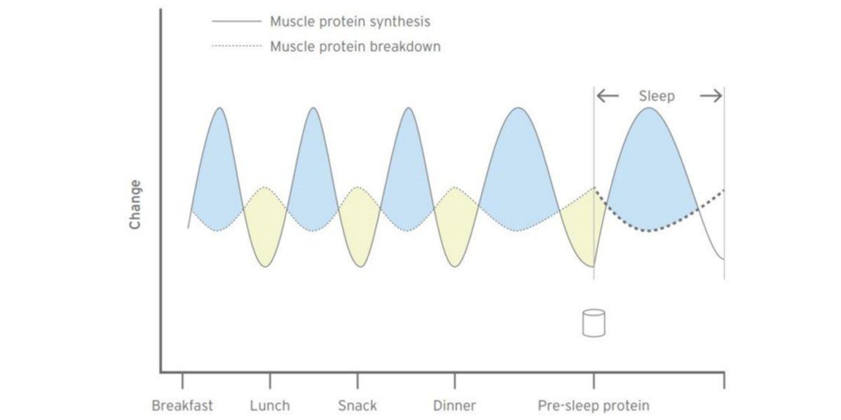 Protein turnover muscle gain