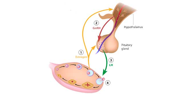 Hypothalamus regulation system