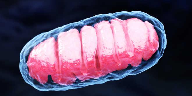 Protein synthesis mitochondria