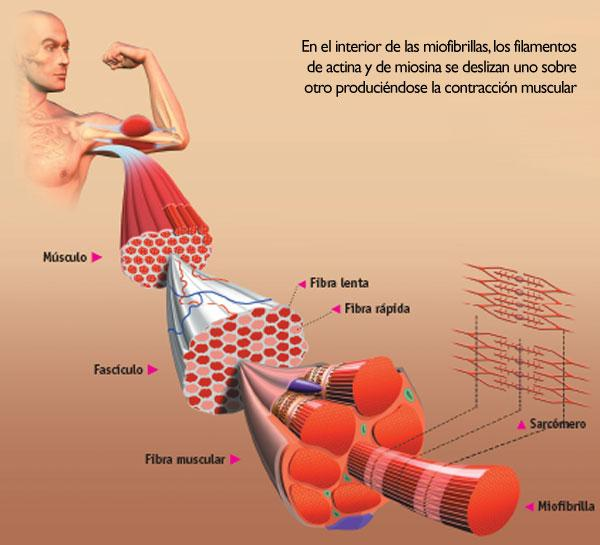 Slow and rapid muscle fibres