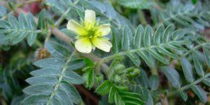 Tribulus Terrestris Plant