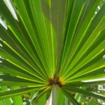Benefits of saw palmetto