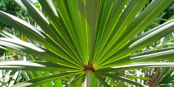 Saw Palmetto – Properties, Benefits and Intake