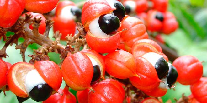 Guarana: What is it, What are its Properties and Benefits