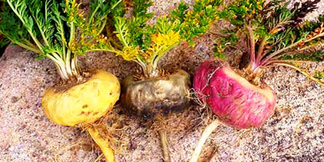 Different types of Maca