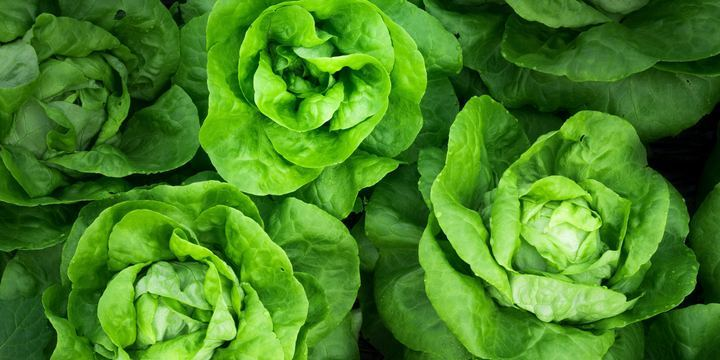 Lettuce is a source of Vitamin A