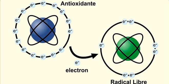 Antioxidant donating electron to free radical