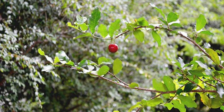 Acerola shrub