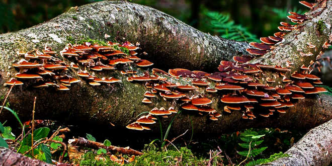 Beta-glucans from mushrooms