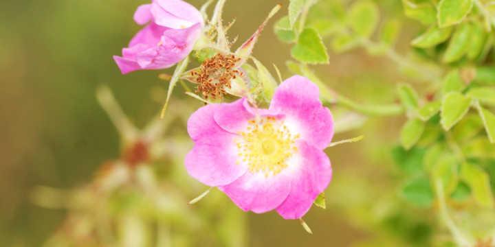 Rose hip flowers