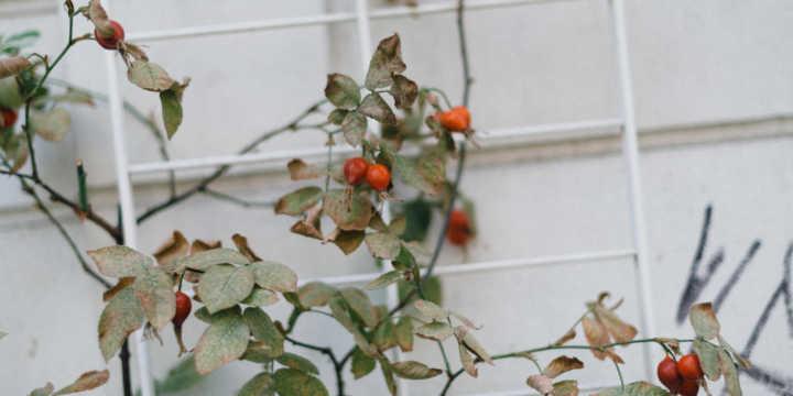 Rose hip crops