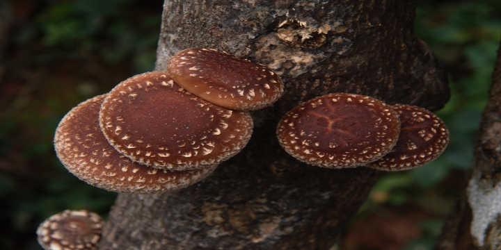 Shiitake mushroom production