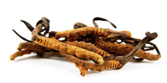 Dry cordyceps fungi