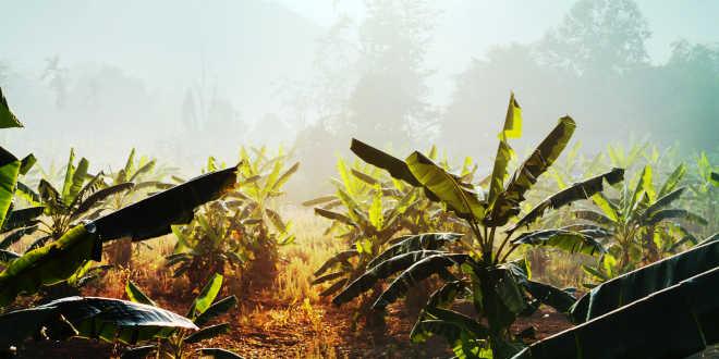 Alpinia Galanga crops in Thailand