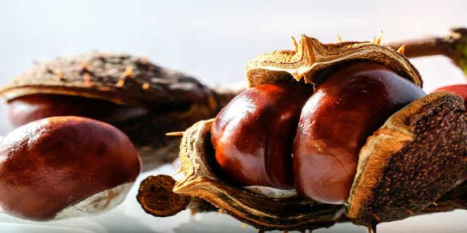 Horse Chestnut – A remedy against Circulatory Problems