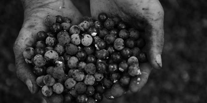 A handful of acai berries