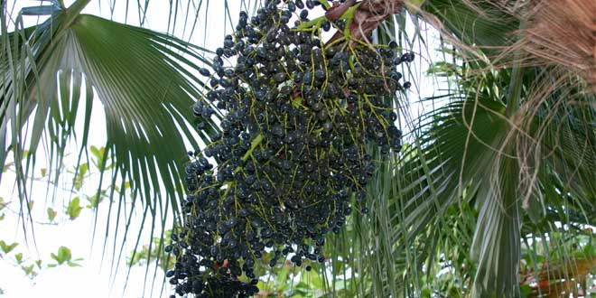 Acai palm tree