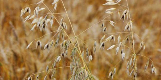 Avena sativa crops