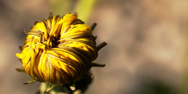 Closed dandelion flower