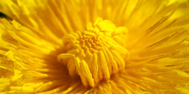 Dandelion – Let's find out about its many properties