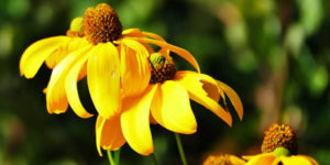 Properties of Echinacea