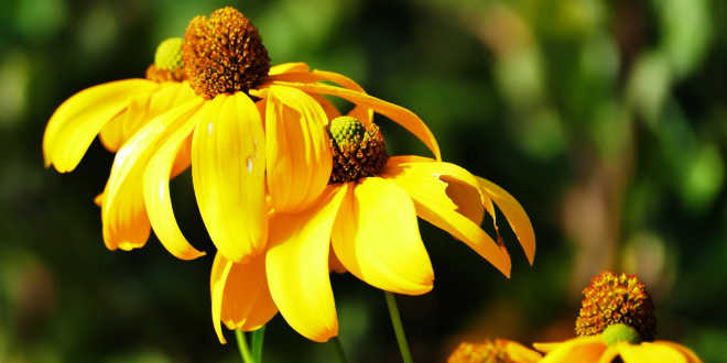 Echinacea – Protect you immune system naturally