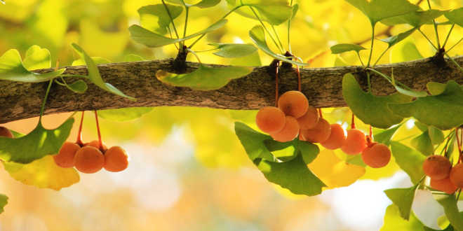 Ginkgo Biloba – Improve your mental strength and blood flow