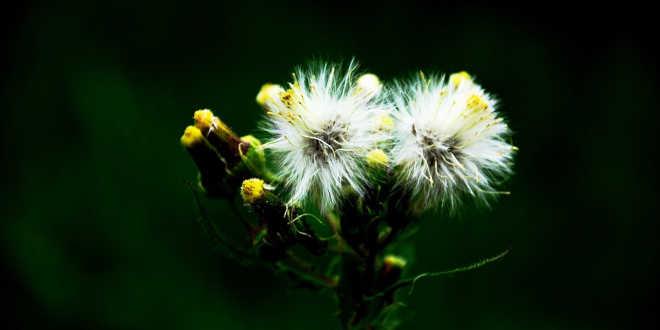 Open dandelion flower