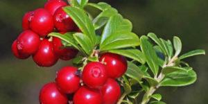 Benefits of uva ursi
