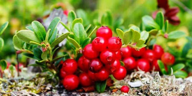 Red bearberries