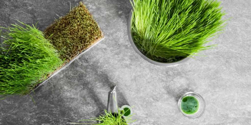 Cultivate your own wheatgrass